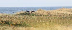 eagle_flying